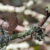 Hermit thrush at Mount Desert Island's Blagden Preserve