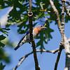 Male bluebird upon return to NC
