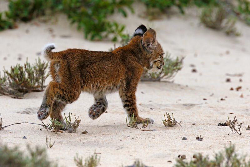 Bobcat kitten at Back Bay NWR in Virginia Beach