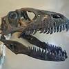 Harvard's Deinonychus skull