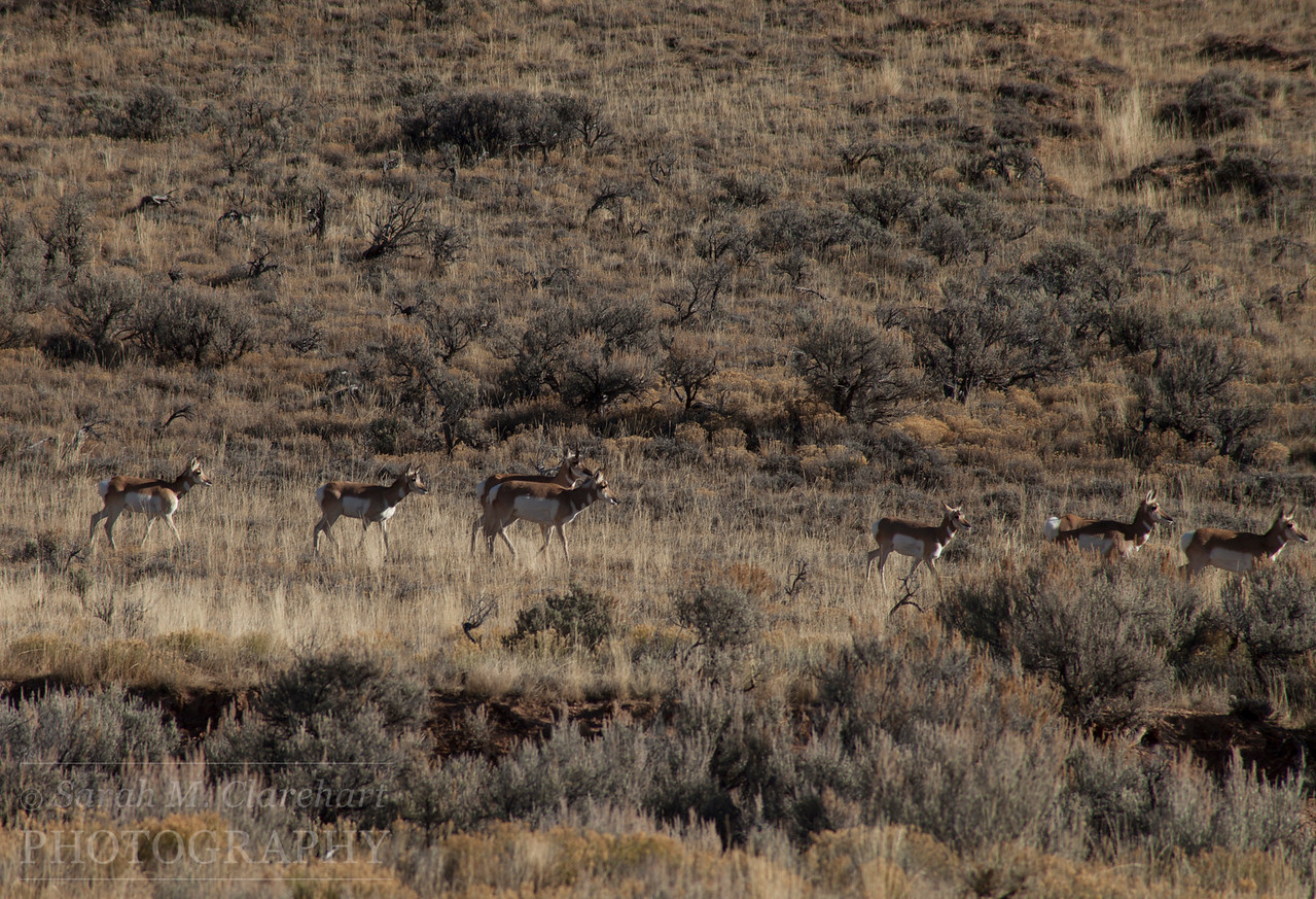 Fossil Butte National Monument, Wyoming. Pronghorn Antelope.