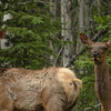 Elk along Alaska Hwy west of Whitehorse, YK -females