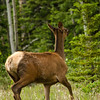 Elk along Alaska Hwy west of Whitehorse, YK - female
