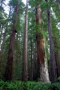 Back for a second year to visit our Redwood friends. This is a group of massive trees located in Stout Grove. Many of the protected groves in the area have excellent, level trails where you can walk among the giants.