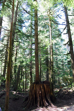 A tree growing on top of an old stump at Deception Falls.