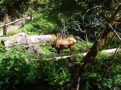 Elk just off of the trail at Hoh Rain Forest.  There were 2 of them in the water trying to stay cool.