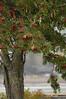 Grand Marais (Mountain Ash in the mist)