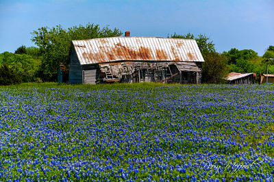Ennis Bluebonnet Trails 4-12-19