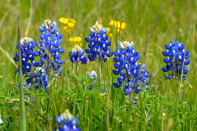 Ennis Bluebonnet Trails 4-8-16
