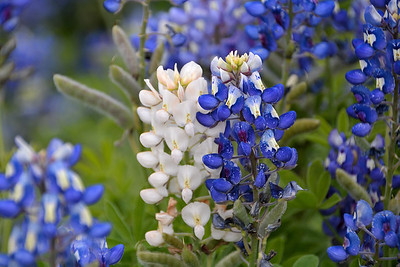 Ennis Bluebonnet Trails 4-8-17