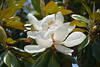 Magnolia blossoms at the Mississippi welcome center. We did see lots of very tall Magnolia trees thru Mississippi.