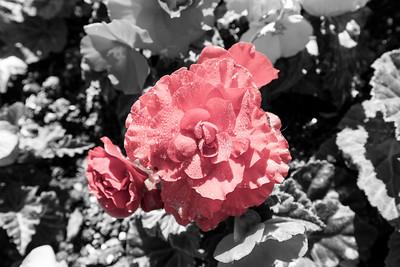Selective Color Process. Tuberous Begonia. Sunken Garden. Butchart Gardens - Brentwood Bay, BC, Canada