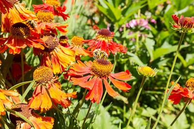 Sneezeweed (Helenium). Sunken Garden. Butchart Gardens - Brentwood Bay, BC, Canada
