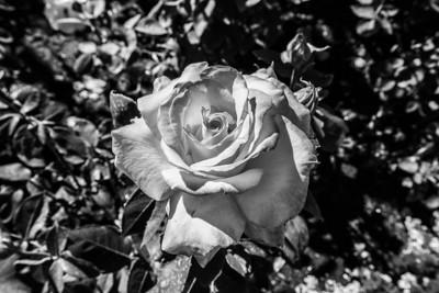 Rose. Rose Garden. Butchart Gardens - Brentwood Bay, BC, Canada