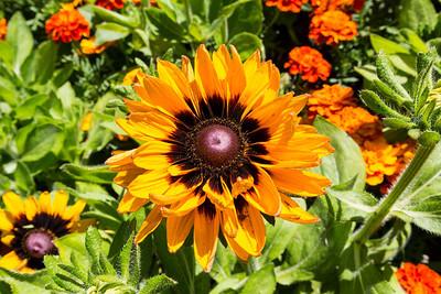 Black-Eyed Susan or Gloriosa Daisy (Rudbeckia hirta). Sunken Garden. Butchart Gardens - Brentwood Bay, BC, Canada
