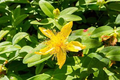 St. John's Wort (Hypericum perforatum). Sunken Garden. Butchart Gardens - Brentwood Bay, BC, Canada