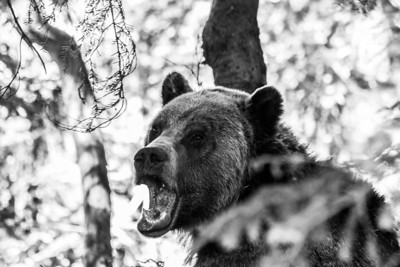 Grizzly Bear. Grouse Mountain - North Vancouver, BC, Canada