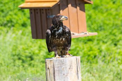 Hercules the Immature Bald Eagle (Haliaeetus leucocephalus). Grouse Mountain - North Vancouver, BC, Canada