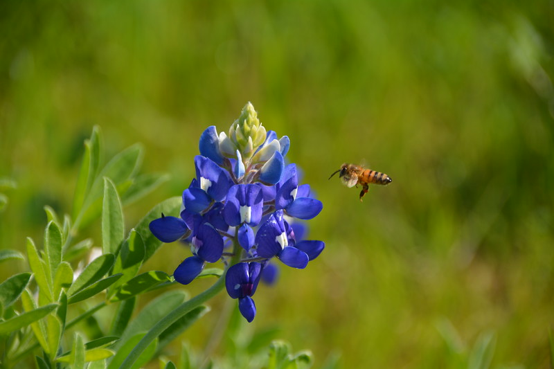 Sugar Ridge Bluebonnet and Bee