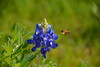 Sugar Ridge Bluebonnet and Bee