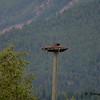 Osprey near Radium Hot Springs, BC