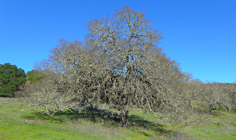An Oak. Hike at Montini Open Space Preserve, Sonoma, 2014.