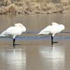 Tundra Swans Resting