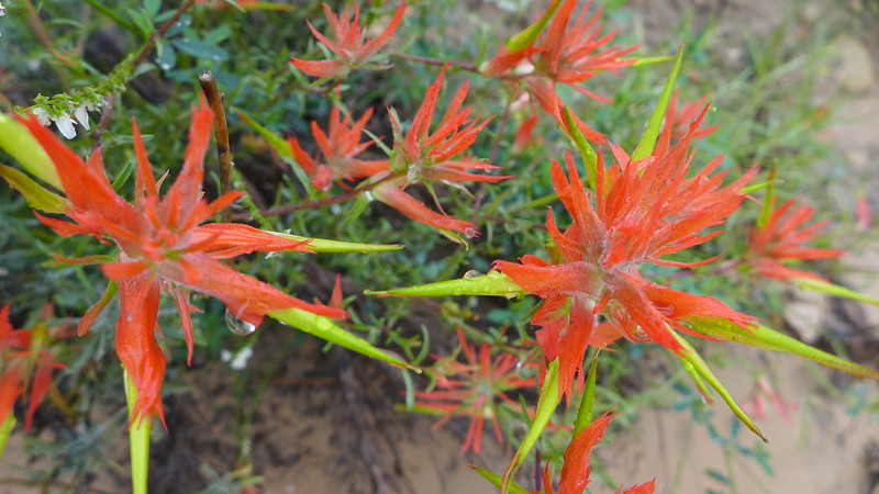 Indian Paintbrush near the origin of the Escalante River