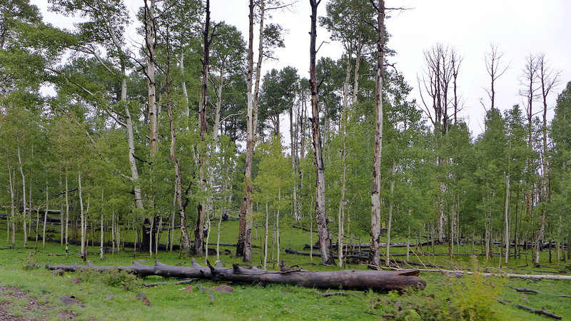 Cottonwood forests at 9000 feet, near Lower Brown's Reservoir, Utah, 2013.