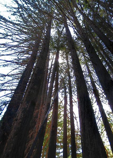 Redwoods at Big Sur