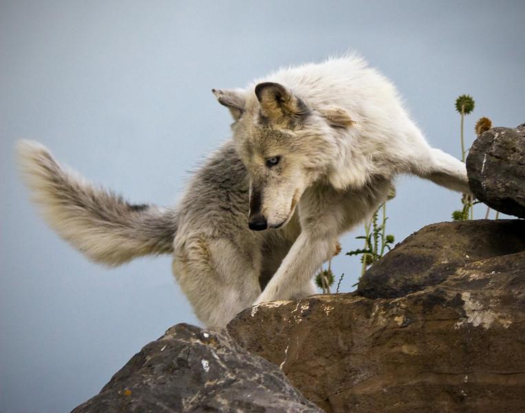 Midnight Journey wolf photo by Tom Debley