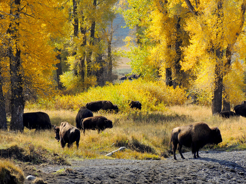 Bison in Lamar Valley by Barb Ashton