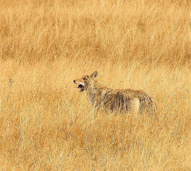 Coyote eating a mouse or vole photo by Nancy Dawson