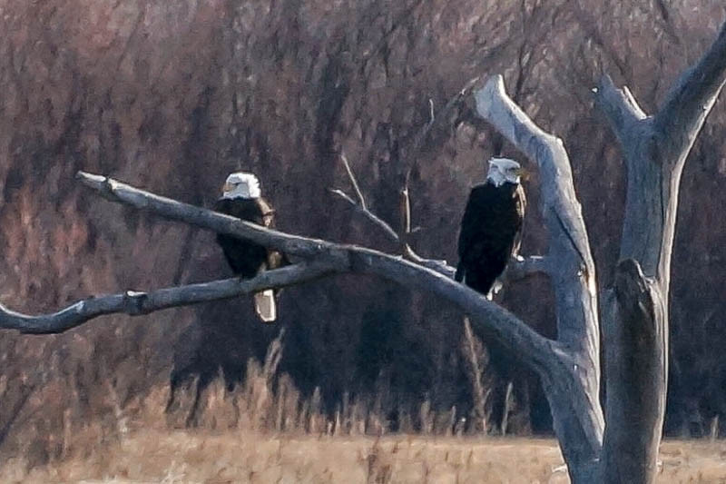 Bald Eagles at the Bosque - Photo by Linda Bradley