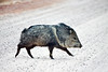 The Javelina by Mary Lou Frost