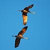 Sandhill Cranes Take Wing  Photo by Ernie Martin