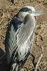 Great Blue Heron - Photo by Linda Bradley