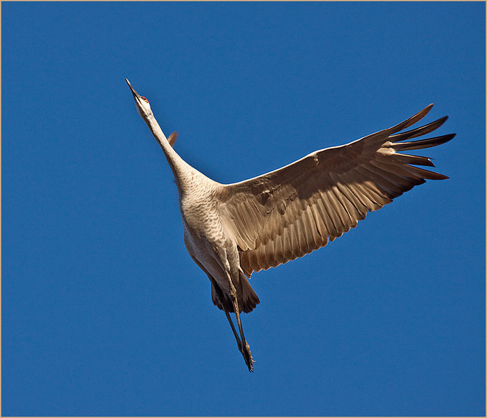 A Sandhill Crane at Takeoff by Mary Lou Frost