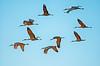 Sandhill Cranes in Flight  Photo by Ernie Martin