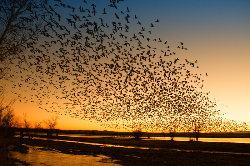 Snow Geese, Sunrise fly-out  Photo by Ernie Martin