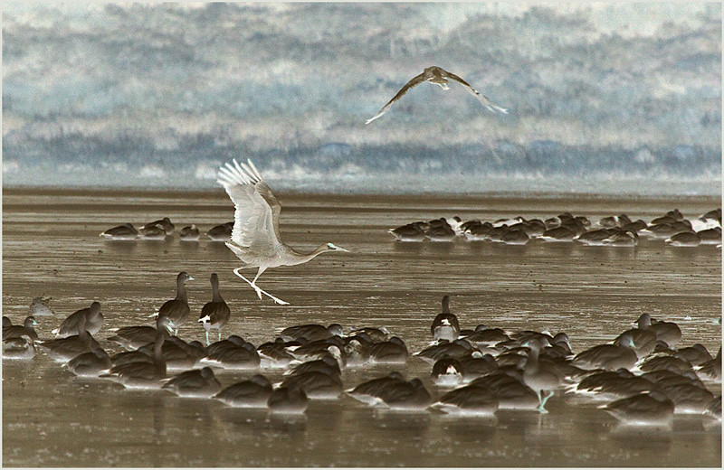 Crane Landing (Inversion Adjustment Layer) by Mary Lou Frost