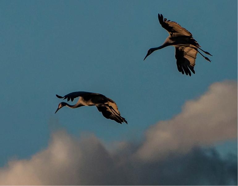 Cranes in flight, by Karen Peterson
