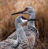 Sandhill cranes, by Karen Peterson