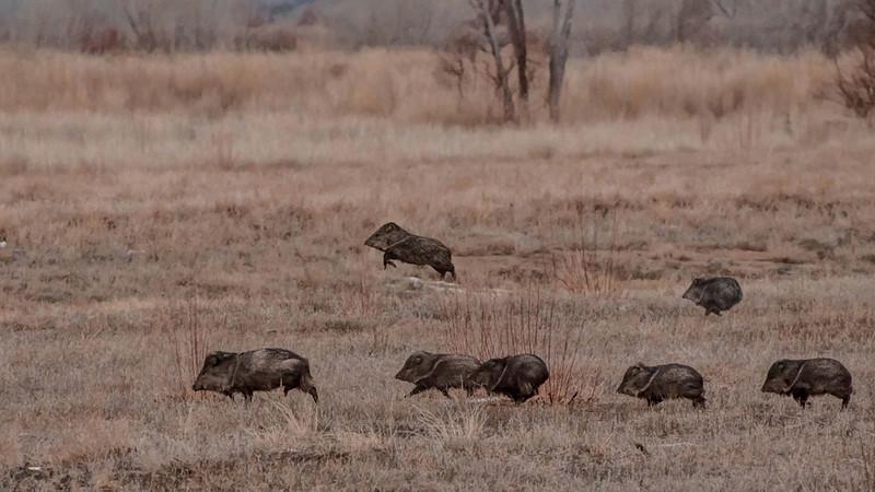 Javalina herd, by Karen Peterson