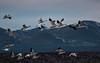 Snow geese in flight, by Karen Peterson