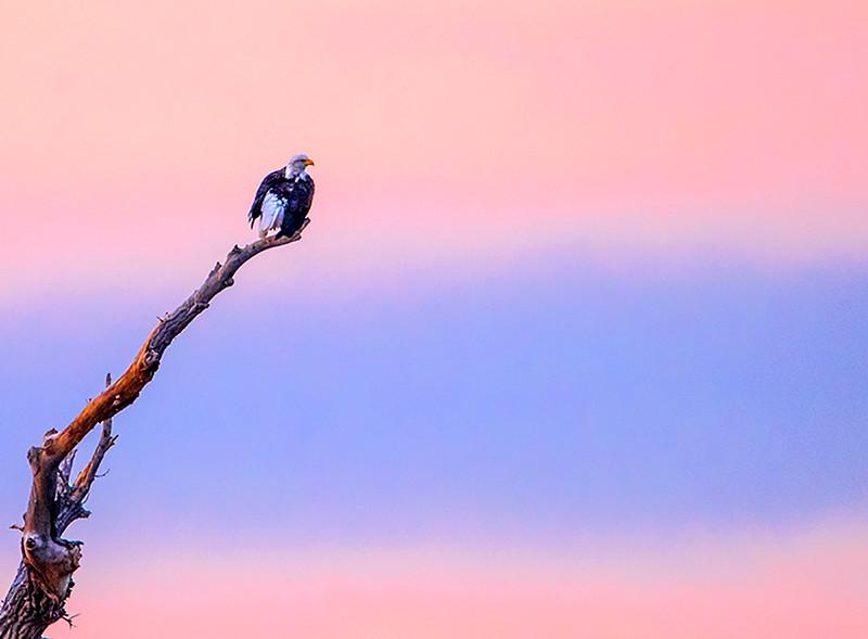 Eagle on Tree Snag at Sunrise-Kathy Williams