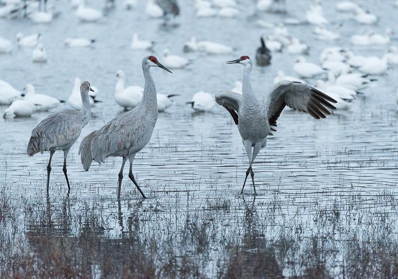Crane Dance photo by Martin See