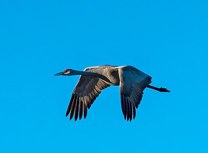 Talking Crane Flying - Kathy Williams