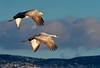 Sandhill Cranes on a Mission -Kathy Williams