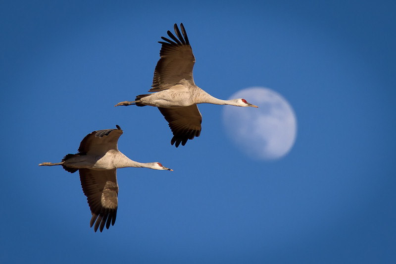 Two Cranes, One Moon by Bruce Straits
